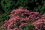 Italie. Italia. Sardaigne. Sardinia.lauriers roses en fleurs et lentisques vertes au petit matin  près de Baunei sur la côte est de l'île