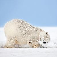 Female polar bear rubs her neck in the snow on an island in the Beaufort Sea on Alaska's arctic coast.