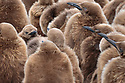 King Penguin (Mirounga leonina) fluffy brown chicks or 'woolies'. Gold Harbour, South Georgia. November.