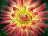 Close up of Dahlia variety Fall Fiesta, Oregon