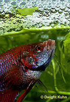BY03-059z   Siamese Fighting Fish - male making protective bubble nest for eggs - Betta splendens