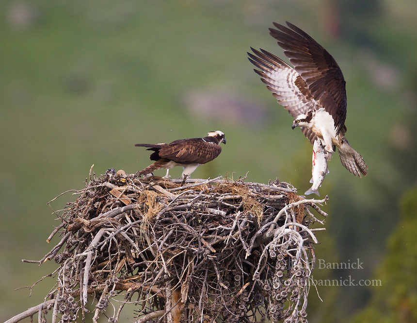A male Osprey brings a fish into the wating female and young.