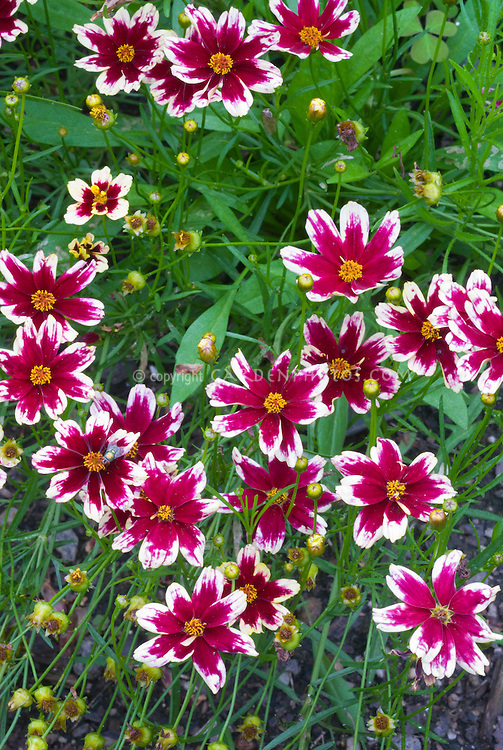 Coreopsis 'Ruby Frost' tickseed in red flowers with white cream picotee