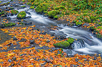 ORCG_D208 - USA, Oregon, Columbia River Gorge National Scenic Area, Gorton Creek in autumn with fallen leaves of bigleaf maple, mossy rocks and ferns.
