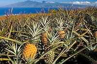 West Maui Pineapple Fields