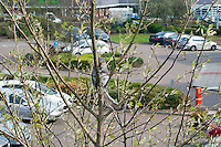 Grey Squirrel (Sciurus carolinensis)  climbing a tree in early spring in a car park in  Fulwood, Preston, Lancashire