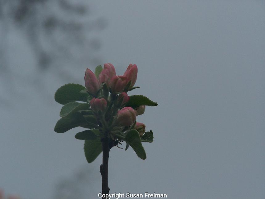 Apple tree in bloom, Joan Gussow's garden