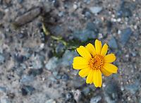 Lone yellow daisy flower grown on stony soil.