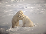 Two polar bears engaged in play fighting embrace in a momentary hug in Hudson Bay, Manitoba, Canada.