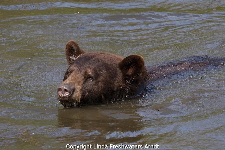 Cinnamon bear swimming in the springtime.  Minnesota.
