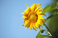 Photo of a Sunflower against a Blue Sky. There is a Yellow and Black Bumble Bee gathering Nectar