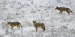 Three coyotes make their way through a meadow in Jasper National Park, Alberta, Canada, winter 2012.  Photo by Gus Curtis.