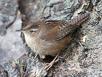 A marsh wren creeps along the base of a tree at the Reifel Bird Sanctuary in British Columbia.