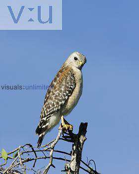 Red-shouldered Hawk ,Buteo lineatus,, pale Florida plumage.