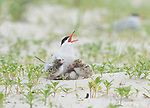 Common Terns (Sterna hirundo), adult with three chicks, calling in response to another tern flying overhead, Long Island, New York, USA