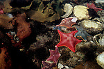 Bat stars, Queen Charlotte Islands, Haida Gwaii, Dolomite Narrows, British Columbia, Canada, Uniquely colorful sea stars, Asterina (formally Patiria) miniata.