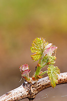 bud burst on the vine and counter-bud contre-bourgeon ch gd barrail lamarzelle figeac saint emilion bordeaux france