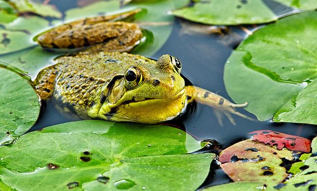 Bullfrog amongst lily pads.