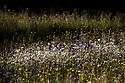 Oxeye Daisy {Leucanthemum vulgare} and other flowers growing in alpine meadow. Nordtirol, Tirol, Austrian Alps, Austria, 1700 metres altitude, June.