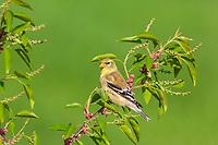 American goldfinch - female