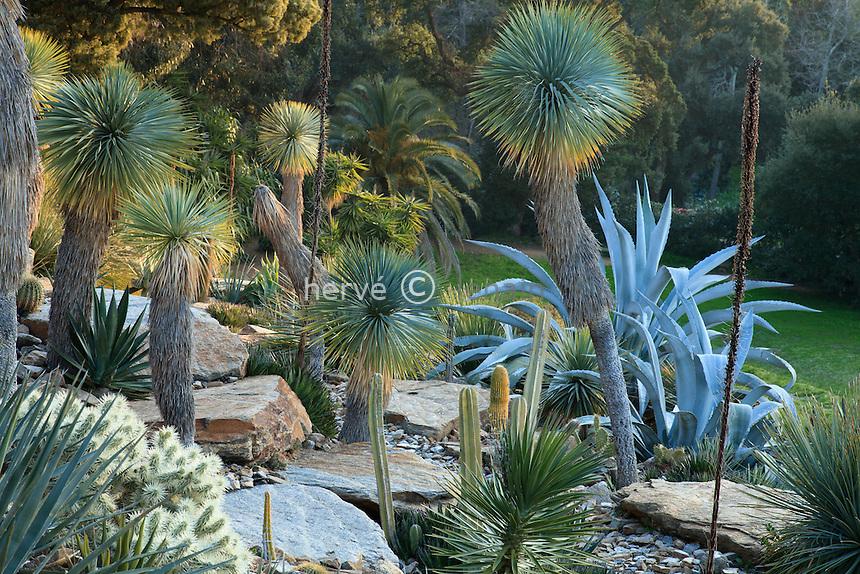 Le domaine du Rayol en f&eacute;vrier. Dans le jardin am&eacute;ricain aride : domin&eacute; par les grands Yucca rostrata avec agaves, cact&eacute;es, autre Yucca...<br /> <br /> (mention obligatoire du nom du jardin &amp; pas d'usage publicitaire sans autorisation pr&eacute;alable)