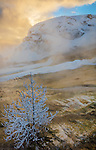 Yellowstone National Park, WY: Hoar frosted tree with steam from Mound Terrace at sunirse of Mammoth Hot Springs