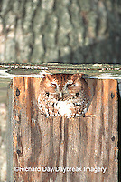 01121-00417 Eastern Screech-Owl (Otus asio) in nest box Effingham Co.   IL