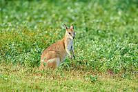 agile wallaby, or sandy wallaby, Macropus agilis, on a meadow, Queensland, Australia, Oceania