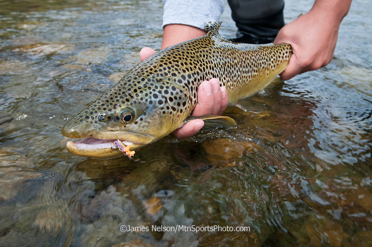 Large male brown trout caught using a fly that imitates a grasshopper on the South Fork of the Snake River, Idaho.
