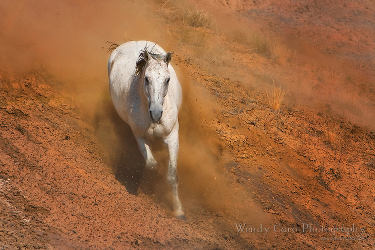 White stallion sliding down red rock slope, with dust, Wyoming.