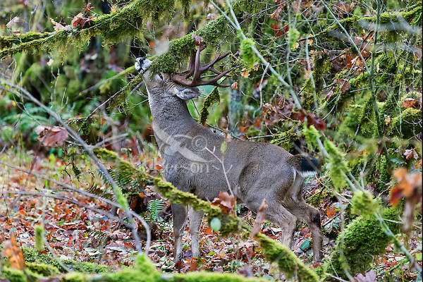 Coastal Black-tailed Deer Buck or Columbian black-tailed deer buck (Odocoileus hemionus columbianus) scent marking with his pre-orbital glands .  Late Fall, Pacific Northwest