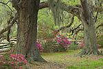 Live Oak Trees and Azaleas in bloom, Magnolia Plantation, Charleston, South Carolina, USA.