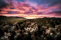 Cholla Gardens at sunset. Joshua tree National Park, California