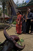 buffalo sacrifice at a funeral in a traditional village in Toraja land, Sulawsi, Indonesia.