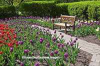 63821-21008 Bench in Tulips (Tulipa  'Negrita' (purple), 'Inzell' (White), and 'Mistress' (Pink) at Cantigny Gardens, Wheaton, IL