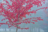 Sugar Maple in autumn, Washington