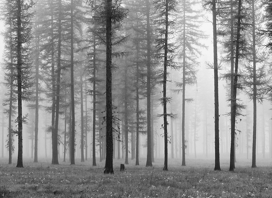The fog-enshrouded trees creates an eerie scene in the early morning.