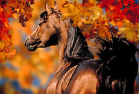 Medium close up from rear of Arabian stallion REGAL MAHOGANY running through fall foliage. autumn leaves, horse, horses, animals, special effects, photo montage.