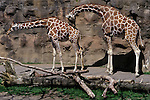 Outdoors sunny day with male female giraffe with male nudging female at the Washington Park Zoo Portland Oregon State USA