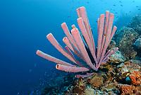 Stove-pipe sponge, Aplysina archeri, Bonaire, Caribbean Netherlands, Caribbean