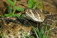 467010144 a wild western diamondback rattlesnake crotalus atrox senses its environment with its tongue while coiled in a dead tree branch on a ranch in the rio grande valley of south texas