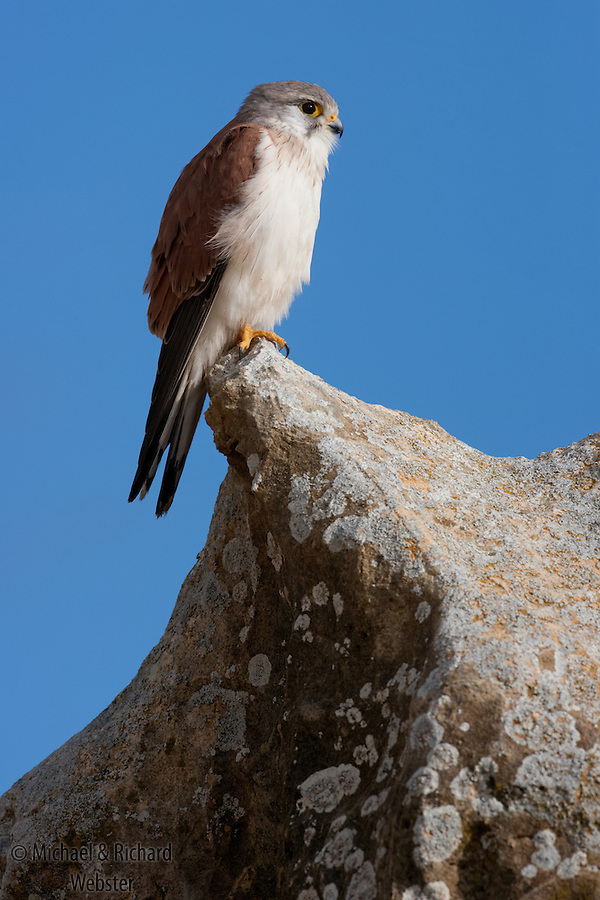 Nankeen Kestrel (Falco cenchroides) perched on a rock in the Pinnacles National Park, Western Australia.