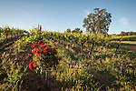 Roses at the end of the vineyard rows (used to detect disease and pests), summer, Shenandoah Valley, Calif.