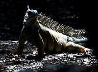 CALI - COLOMBIA - 20 - 06 - 2017 Iguana (Iguana Iguana) Reptil, especie de reptil muy común en Cali (Pance), en el Valle del Cauca, Colombia. / Iguana (Iguana Iguana) Reptile, a very common reptile species in Cali (Pance), in the Valle del Cauca, Colombia. / Photo: VizzorImage / Luis Ramirez / Staff.