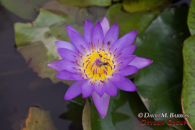 Purple Water Lily, Royal Palace