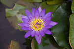 Purple Water Lily, Royal Palace