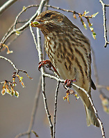 Female purple finch eating seeds