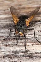 Rinderfliege, Rinderfliege, Mittags-Fliege, Mittagsfliege, Mesembrina meridana, Musca meridiana, noon-fly, noonfly