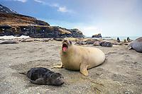 South Georgia Island, Moltke Harbor, Southern elephant seal (Mirounga leonina) mother and pup