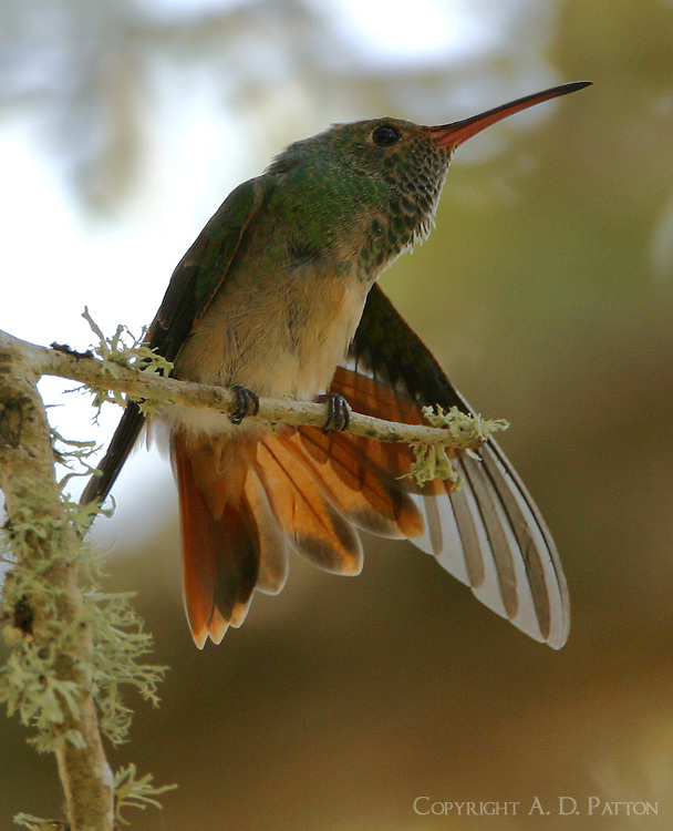 Buff-bellied hummingbird stretching